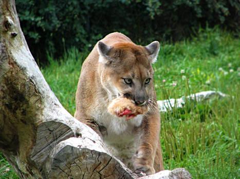 Cougar Feeding