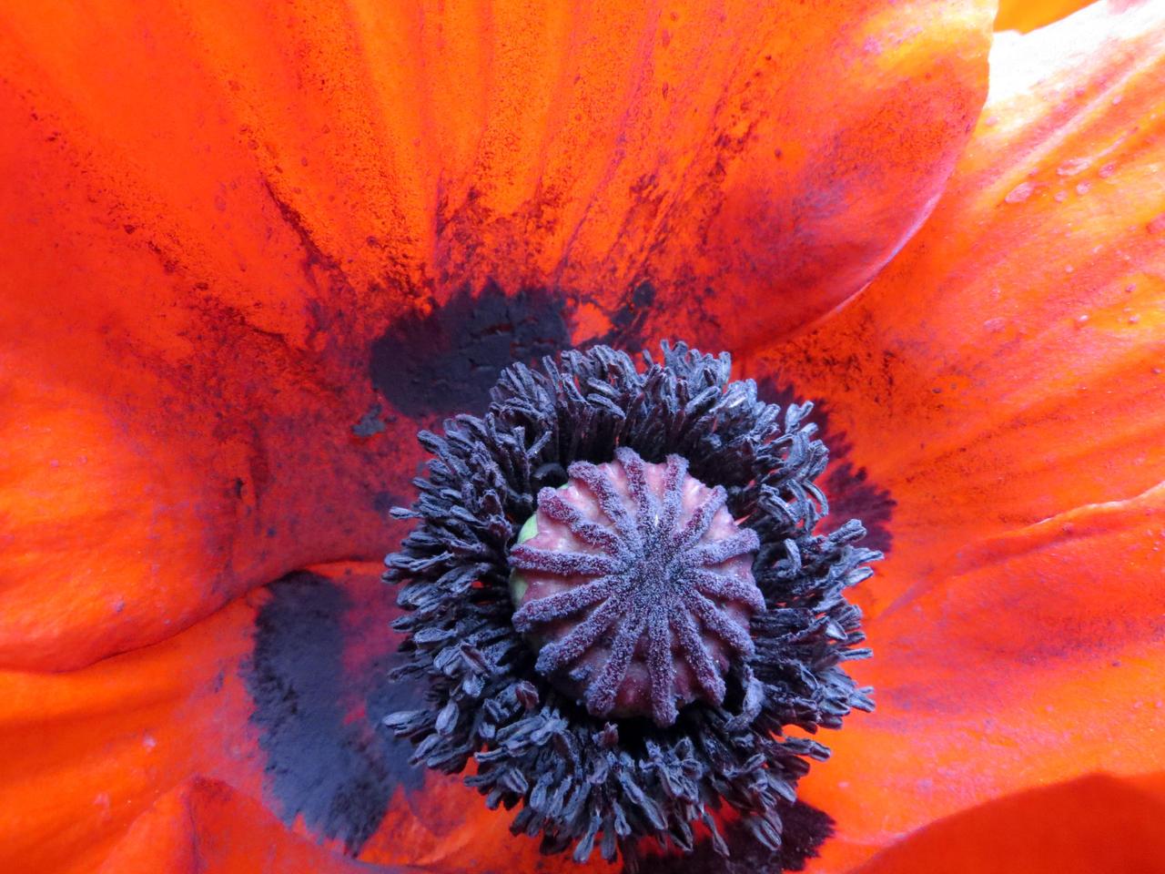 Big Red Poppy