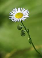 flower 29 by galimzyanova