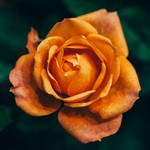 rose 59 by galimzyanova