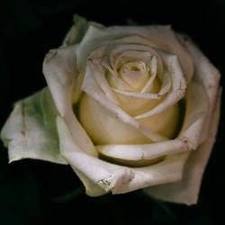 rose 70 by galimzyanova