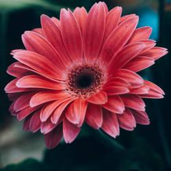 flower 212 by galimzyanova