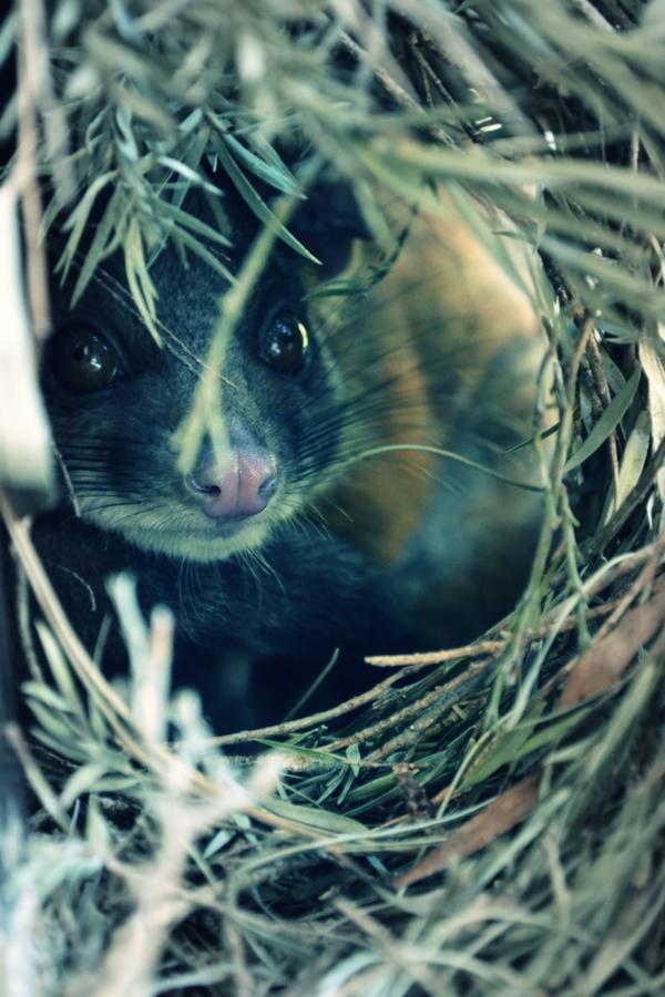 Timid Possum II by PedroManga