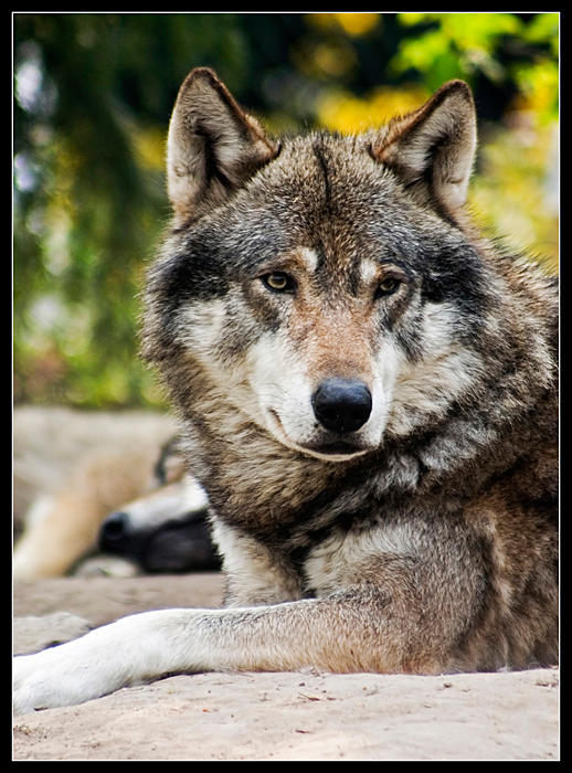 Оприличете предния с картинка Wolf_by_bundestaag
