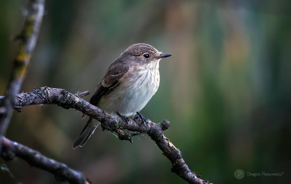 Spotted-Flycatcher by dpvue