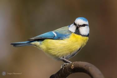 Eurasian-blue-tit by dpvue