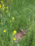 A fawn on my lawn