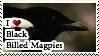 I love Black-Billed Magpies by Conure-Flight