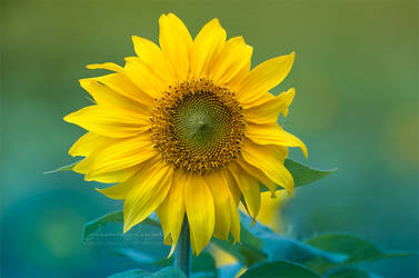 Sunflower by kuschelirmel