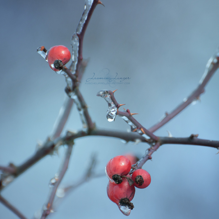Rose Hips on Ice by kuschelirmel