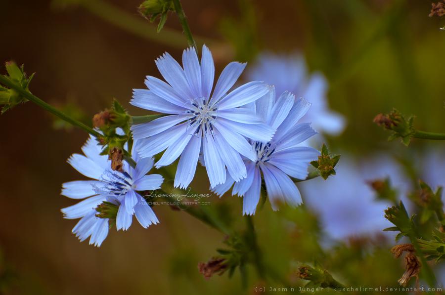 Blue Flowers by kuschelirmel