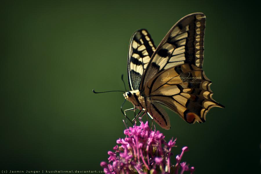 Butterfly by kuschelirmel