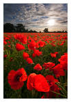 Glowing Poppies