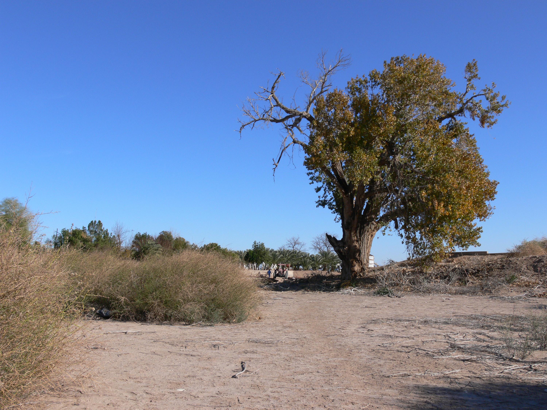 desert tree5 by Wicasa-stock
