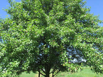 Pear Tree by discoveringrealtruth