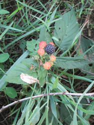 Wild Black Raspberries by discoveringrealtruth