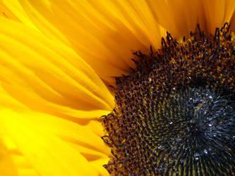 Sunflower by crop