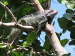 Iguana Prince by crop