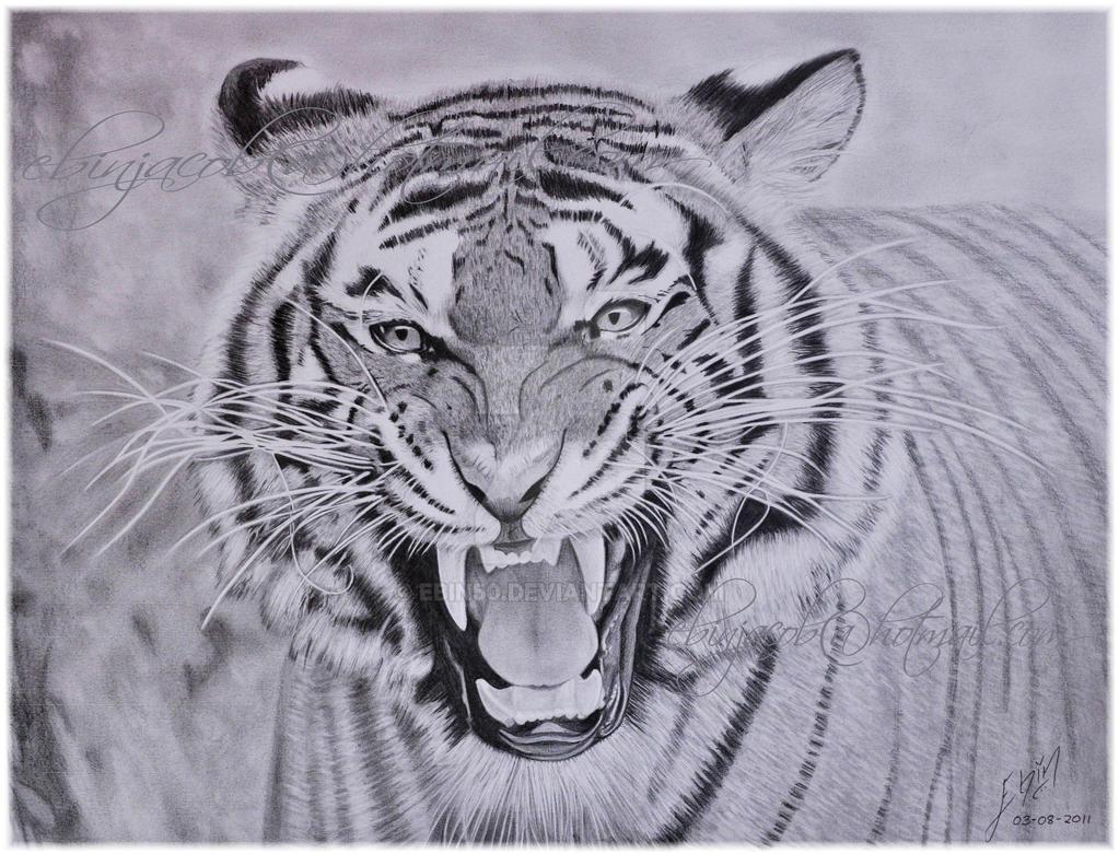 Tiger by ebin50