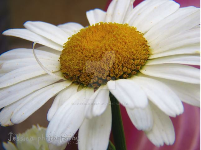 Summer Daisy Flower by jessieo-photography