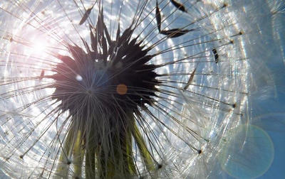 Close-up Dandelion  by MissAshly