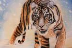 Sumatra Tiger in snow