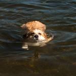 Corgi Swim