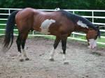 Berich Horse 17 - Robin