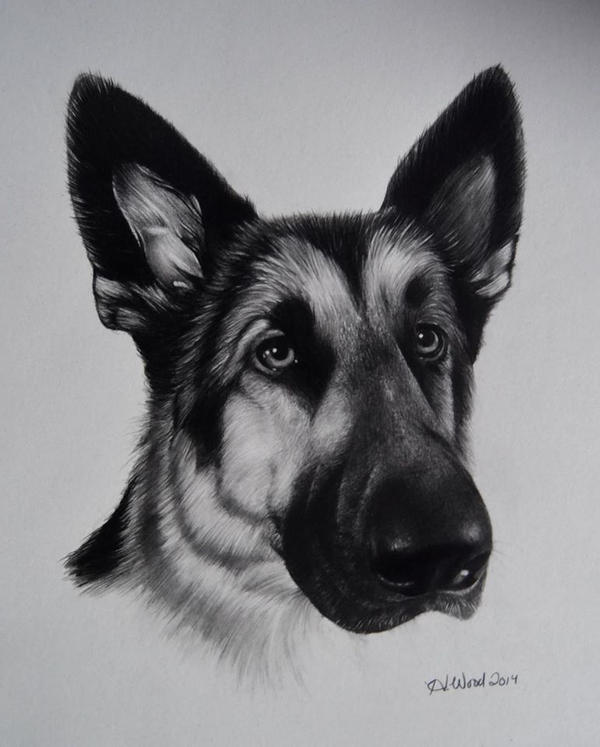 German Shepherd by heatherw290