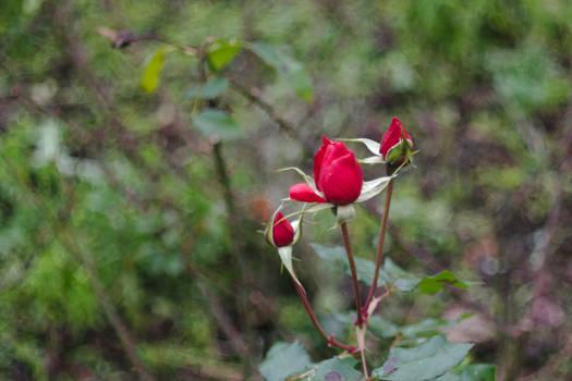 Rose blossoms bokeh