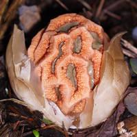 Clathrus ruber - Egg rupturing