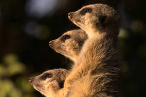 Three Suricates / Meerkats
