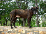 STOCK PHOTO: Brown Dog
