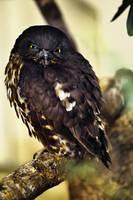 Black Owl, Ueno Zoo