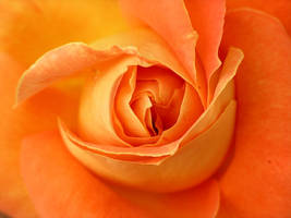 rosae,rosarum by pieme74