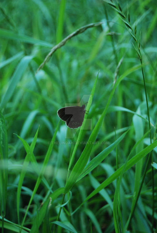 Black Butterfly by theLindah