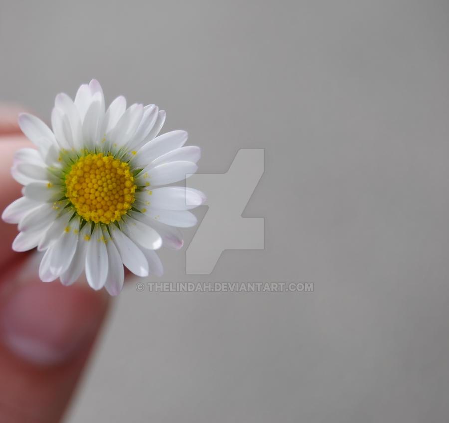 Daisy by theLindah