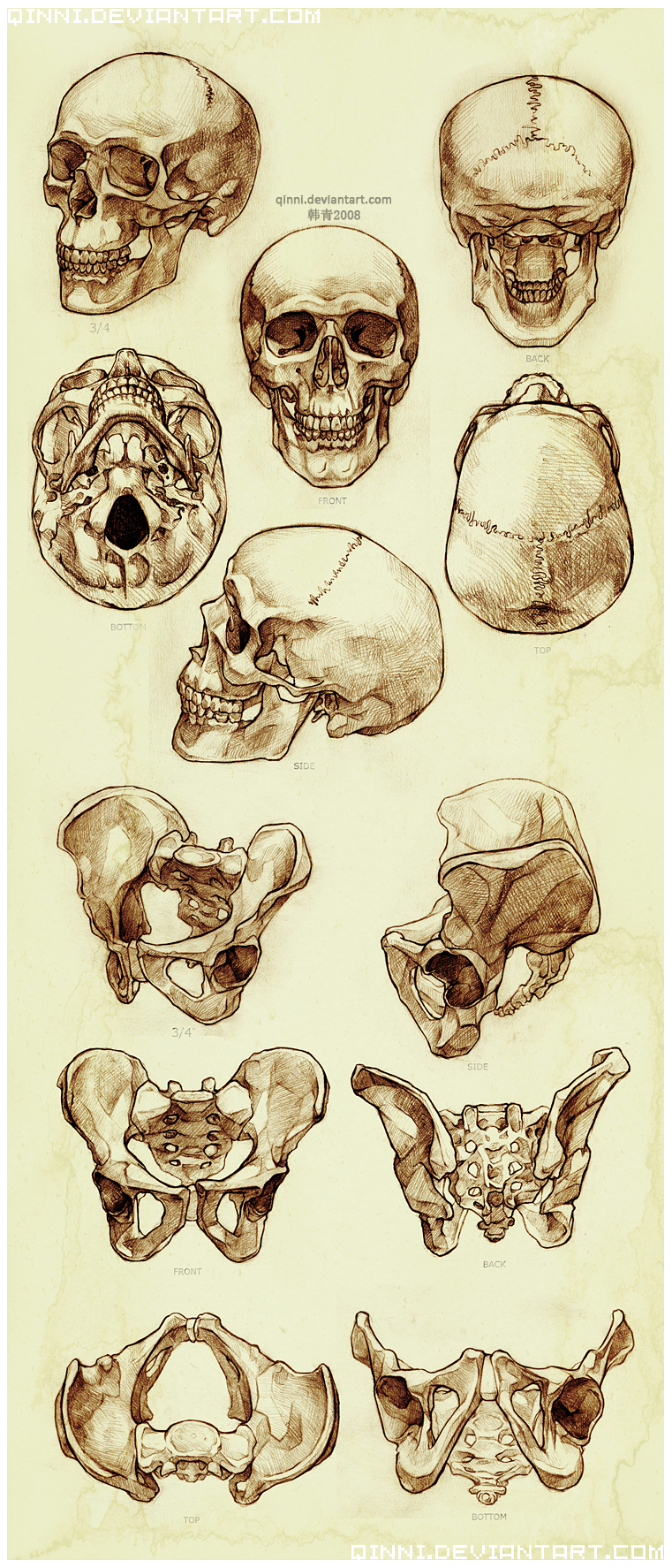 Skull and Pelvis Study by Qinni