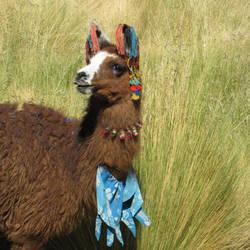 My favorite llama by gastonnerie