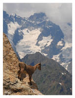 Jeune bouquetin - Young Ibex by gastonnerie
