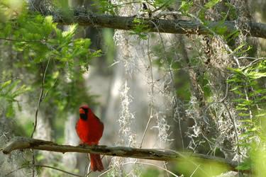 Cardinal 2 by GGamero