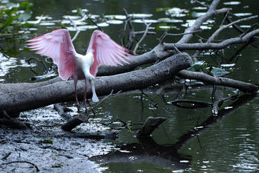 Spoonbills can jump by GGamero