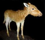 Quagga foal