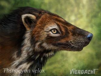 Thinocyon velox by Viergacht