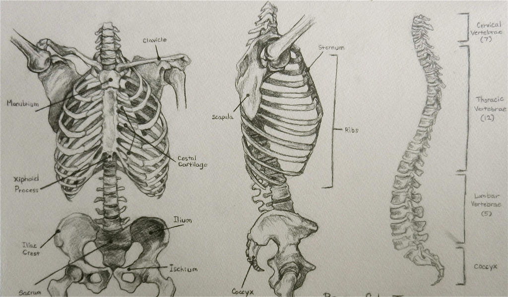 spine and ribs drawing wwwpixsharkcom images