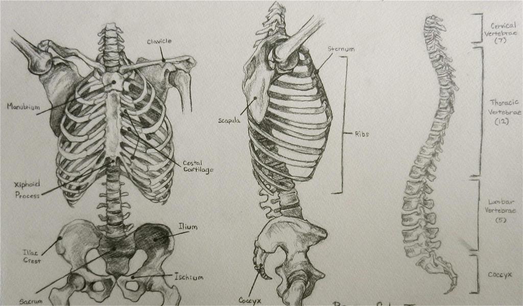 Studying bones for anatomy