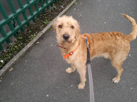 Biscuit Labradoodle Puppy 1 Year Old