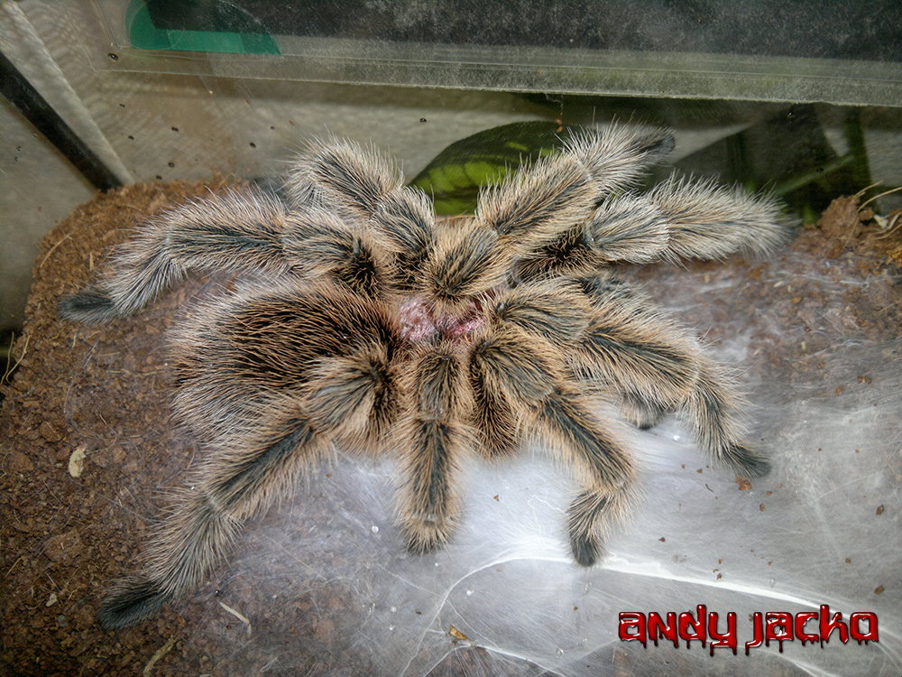 Grammostola North Northern Gold Tarantula Spider by AndyJacko