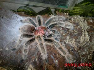 Grammostola North Northern Gold Tarantula Spider