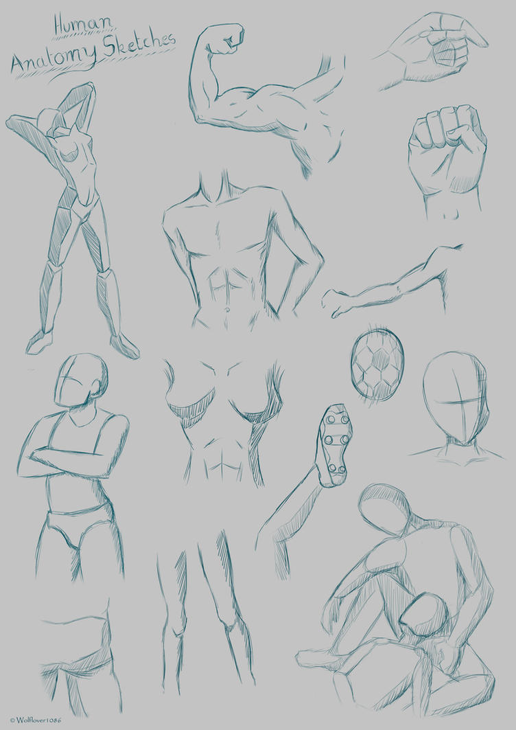 Human Anatomy Sketches By Wolflover1086 On Deviantart